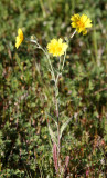 ASTERACEAE - HEMIZONIA PALLIDA - KERN TARPLANT - CARRIZO PLAIN NATIONAL MONUMENT CALIFORNIA (2).JPG