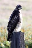 BIRD - HAWK - FERRUGINOUS HAWK - CARRIZO PLAIN NATIONAL MONUMENT (6).JPG