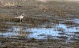 BIRD - KILLDEER - CARRIZO PLAIN NATIONAL MONUMENT CALIFORNIA (3).JPG