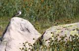 BIRD - LARK - HORNED LARK - CARRIZO PLAIN NATIONAL MONUMENT (11).JPG