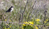 BIRD - SPARROW-  LARK SPARROW - CARRIZO PLAIN NATIONAL MONUMENT.JPG