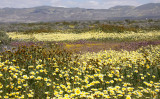 CARRIZO PLAIN NATIONAL MONUMENT - VIEWS OF THE FLOWER FIELDS - ROADTRIP SPRING 2010 (16).JPG