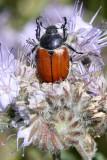 INVERT - ARTHROPODA - COLEOPTERA - PARACOTALPA SPECIES - CARRIZO PLAIN NATIONAL MONUMENT CALIFORNIA.JPG