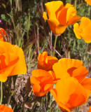 PAPAVERACEAE - ESCHSCHOLZIA CALIFORNICA - CARRIZO PLAIN CALIFORNIA (2).JPG