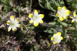 PAPAVERACEAE - PLATYSTEMON CALIFORNICA - CREAM CUPS - PLANT SPECIES - CARRIZO PLAIN NM CALIFORNIA (3).JPG