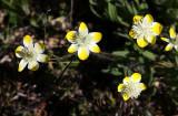 PAPAVERACEAE - PLATYSTEMON CALIFORNICA - CREAM CUPS - PLANT SPECIES - CARRIZO PLAIN NM CALIFORNIA (4).jpg