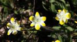 PAPAVERACEAE - PLATYSTEMON CALIFORNICA - CREAM CUPS - PLANT SPECIES - CARRIZO PLAIN NM CALIFORNIA (5).JPG