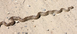 REPTILE - SNAKE - SPECIES UNKNOWN - CARRIZO PLAIN NATIONAL MONUMENT CALIFORNIA (3).JPG