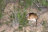 RODENT - KANGAROO RAT - GIANT KANGAROO RAT - CARRIZO PLAIN NATIONAL MONUMENT (4).JPG