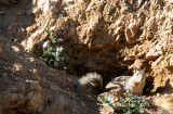 RODENT - SQUIRREL - CALIFORNIA GROUND SQUIRREL - CARRIZO PLAIN NATIONAL MONUMENT CALIFORNIA (2).JPG