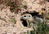 RODENT - SQUIRREL - SAN JOAQUIN ANTELOPE SQUIRREL - NELSON'S ANTELOPE SQUIRREL - CARRIZO PLAIN NATIONAL MONUMENT (3).JPG