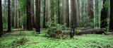 AVENUE OF THE GIANTS - HUMBOLDT REDWOODS STATE PARK CAL - ALBEE CREEK CAMPGROUNDS AREA (10).JPG