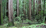 AVENUE OF THE GIANTS - HUMBOLDT REDWOODS STATE PARK CAL - ALBEE CREEK CAMPGROUNDS AREA (7).JPG