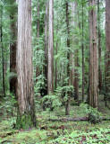 AVENUE OF THE GIANTS - HUMBOLDT REDWOODS STATE PARK CAL - ALBEE CREEK CAMPGROUNDS AREA (9).JPG
