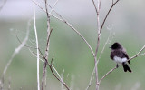 BIRD - PHOEBE - BLACK PHOEBE - HUMBOLDT WETLANDS RESERVE CALIFORNIA (2).jpg