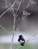 BIRD - PHOEBE - BLACK PHOEBE - HUMBOLDT WETLANDS RESERVE CALIFORNIA (4).JPG
