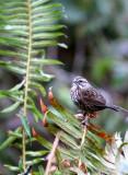 BIRD - SPARROW - SONG SPARROW - JEDEDIAH SMITH STATE PARK CALIFORNIA.JPG