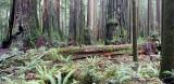 JEDEDIAH SMITH STATE PARK CALIFORNIA - REDWOODS FORESTS VIEWS - ROADTRIP 2010 (2).JPG