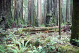 JEDIDIAH SMITH REDWOODS STATE PARK CALIFORNIA (10).JPG