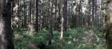PRAIRIE CREEK STATE PARK - SITKA SPRUCE FOREST (2).JPG