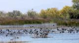 BIRD - AMERICAN COOT - KERN NATIONAL WILDLIFE REFUGE CALIFORNIA (4).JPG