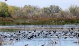 BIRD - AMERICAN COOT - KERN NATIONAL WILDLIFE REFUGE CALIFORNIA.JPG