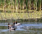BIRD - DUCK - REDHEAD - KERN NATIONAL WILDLIFE REFUGE CALIFORNIA (11).JPG