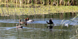 BIRD - DUCK - REDHEAD - KERN NATIONAL WILDLIFE REFUGE CALIFORNIA (9).JPG