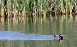 BIRD - DUCK - RUDDY DUCK - KERN NATIONAL WILDLIFE REFUGE CALIFORNIA (7).JPG