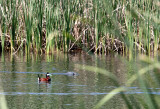 BIRD - DUCK - RUDDY DUCK - KERN NATIONAL WILDLIFE REFUGE CALIFORNIA.JPG