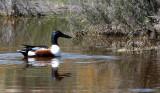 BIRD - DUCK - SHOVELER - NORTHERN SHOVELER - KERN NATIONAL WILDLIFE REFUGE CALIFORNIA (3).JPG