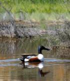 BIRD - DUCK - SHOVELER - NORTHERN SHOVELER - KERN NATIONAL WILDLIFE REFUGE CALIFORNIA (5).JPG