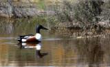 BIRD - DUCK - SHOVELER - NORTHERN SHOVELER - KERN NATIONAL WILDLIFE REFUGE CALIFORNIA (6).JPG