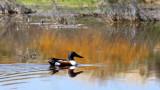 BIRD - DUCK - SHOVELER - NORTHERN SHOVELER - KERN NATIONAL WILDLIFE REFUGE CALIFORNIA.JPG