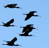 BIRD - IBIS - WHITE-FACED IBIS - KERN NATIONAL WILDLIFE REFUGE CALIFORNIA (13).JPG