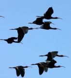 BIRD - IBIS - WHITE-FACED IBIS - KERN NATIONAL WILDLIFE REFUGE CALIFORNIA (9).JPG
