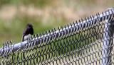 BIRD - PHOEBE - BLACK PHOEBE - KERN COUNTRY TULE ELK RESERVE CALIFORNIA (2).JPG