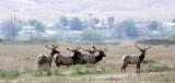 CERVID - ELK - TULE ELK - KERN COUNTRY TULE ELK RESERVE CALIFORNIA (15).JPG