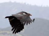 BIRD - VULTURE - CONDOR - CALIFORNIA CONDOR - PINNACLES NATIONAL MONUMENT CALIFORNIA (30).JPG