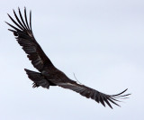 BIRD - VULTURE - CONDOR - CALIFORNIA CONDOR - PINNACLES NATIONAL MONUMENT CALIFORNIA (40).JPG