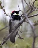 BIRD - WOODPECKER - ACORN WOODPECKER - PINNACLES NATIONAL MONUMENT CALIFORNIA (4).JPG