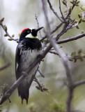 BIRD - WOODPECKER - ACORN WOODPECKER - PINNACLES NATIONAL MONUMENT CALIFORNIA (5).JPG