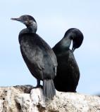 BIRD - CORMORANT - BRANDT'S CORMORANT - ELK HORN SLOUGH RESERVE CALIFORNIA (3).JPG