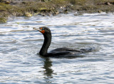 BIRD - CORMORANT - DOUBLE CRESTED CORMORANT - ELKHORN SLOUGH  WILDLIFE REFUGE CALIFORNIA.JPG