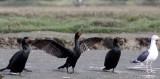 BIRD - CORMORANT - DOUBLE-CRESTED CORMORANT - ELK HORN SLOUGH RESERVE CALIFORNIA (5).JPG