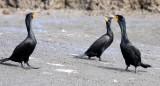 BIRD - CORMORANT - DOUBLE-CRESTED CORMORANT - ELK HORN SLOUGH RESERVE CALIFORNIA (6).JPG