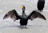 BIRD - CORMORANT - DOUBLE-CRESTED CORMORANT - ELK HORN SLOUGH RESERVE CALIFORNIA (8).JPG