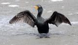 BIRD - CORMORANT - DOUBLE-CRESTED CORMORANT - ELK HORN SLOUGH RESERVE CALIFORNIA.JPG