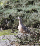 BIRD - CURLEW - LONG-BILLED CURLEW - ELK HORN SLOUGH RESERVE CALIFORNIA (3).JPG