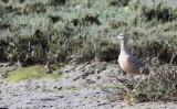 BIRD - CURLEW - LONG-BILLED CURLEW - ELK HORN SLOUGH RESERVE CALIFORNIA (4).JPG